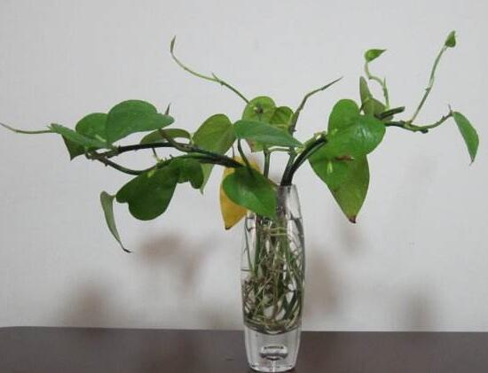 水培绿萝扦插步骤图解