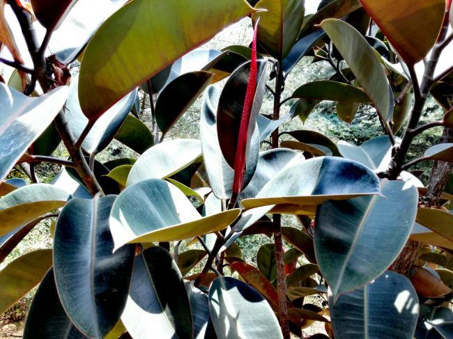 橡皮树叶子发黑怎么办
