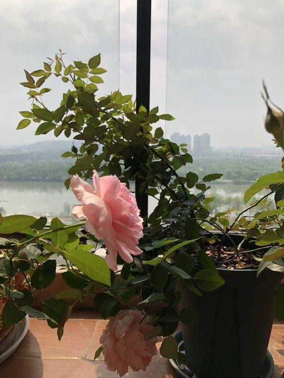 阳台如何养护月季?