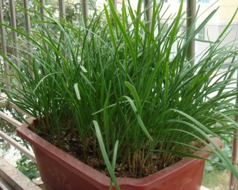 阳台盆栽韭菜的种植方法