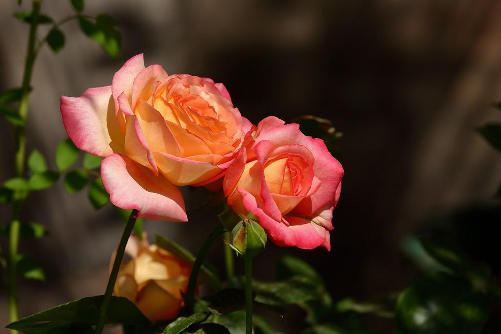 四招让你的月季多开花