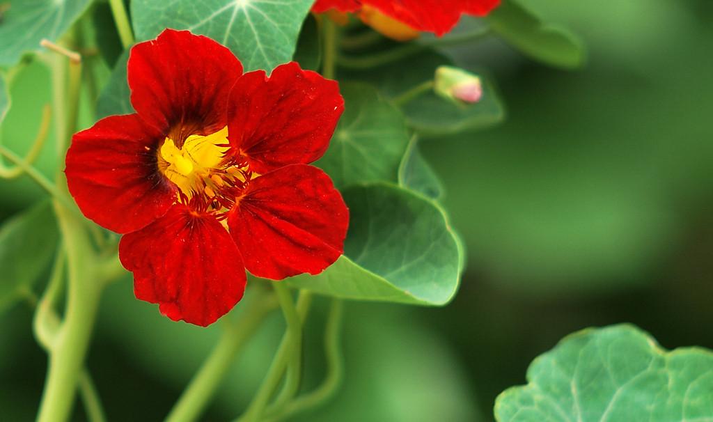 美丽的旱金莲