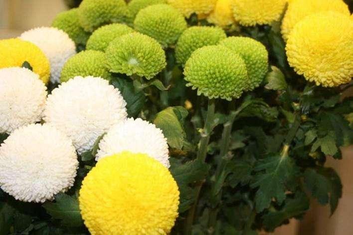 花团锦簇的乒乓菊怎么养?