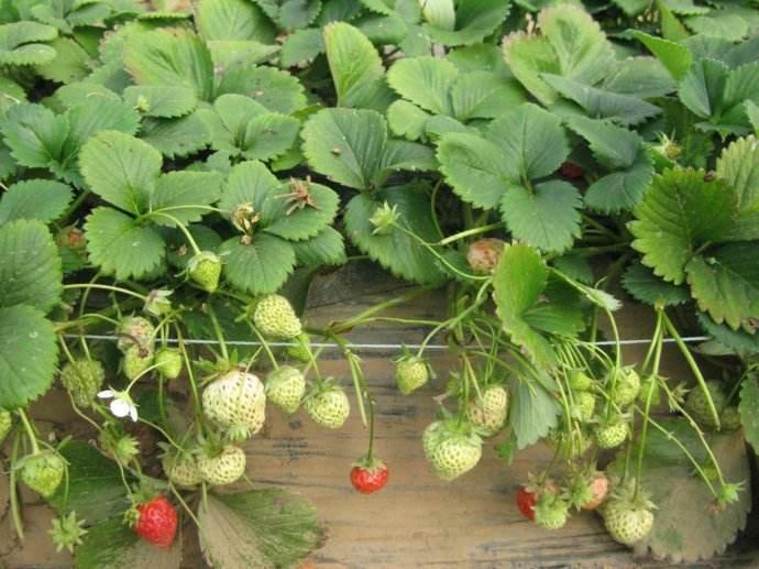 几种家庭种植草莓的小技巧