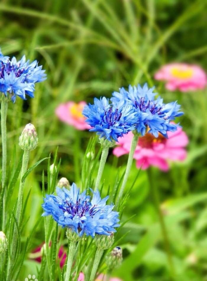 矢车菊的花语