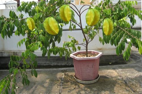 杨桃种子怎么种成盆栽