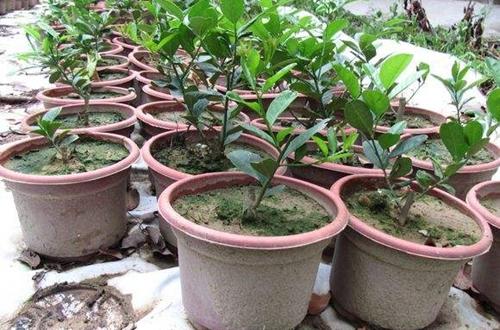 盆栽柠檬不挂果的原因和解决方法
