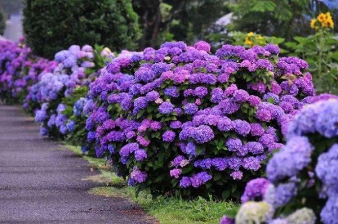 绣球花调蓝的原理与方法