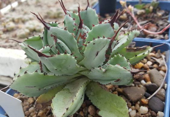 贝壳龙 Agave potatorum cv. 'Cubic'