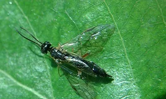 月季的叶蜂、切叶蜂、茎蜂的区别和防治方法