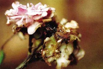月季常见的病虫害有哪些?白粉病、锈病、黑斑病、灰霉病、红蜘蛛的危害及防治办法