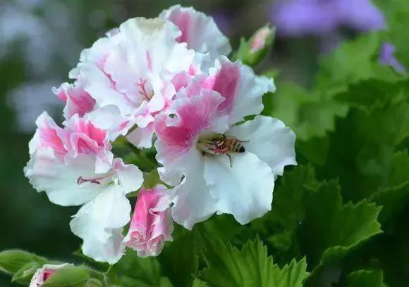 天竺葵耐热品种推荐