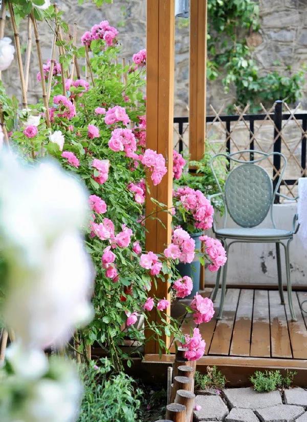 耐热、抗病、勤花的月季品种推荐