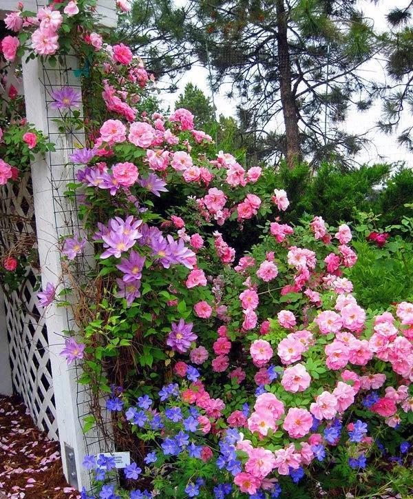 月季和铁线莲如何搭配种植?