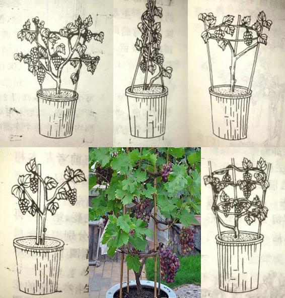 盆栽葡萄如何搭架