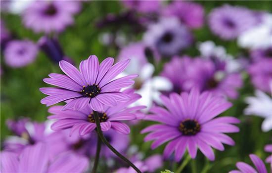 不同颜色雏菊的花语