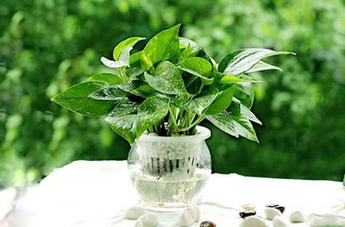 水培植物多久换一次水?