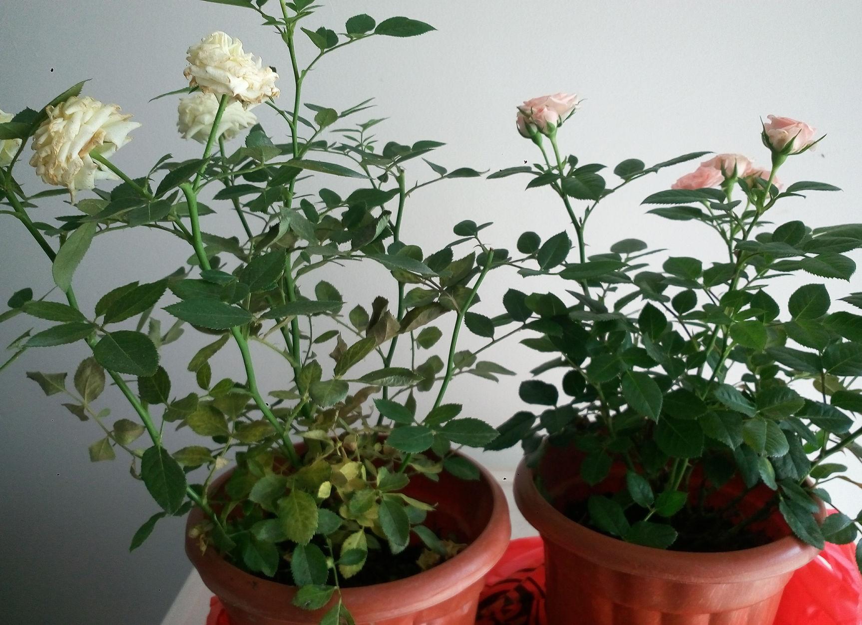 盆栽月季为何花朵越开越小