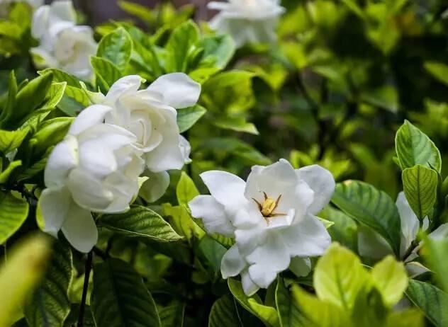 盆栽栀子花土壤配制