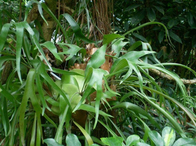 鹿角蕨怎么养