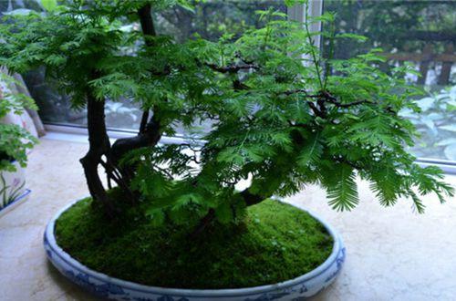 盆栽水杉怎么养