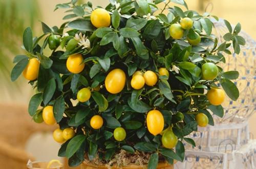 金橘掉叶子怎么办
