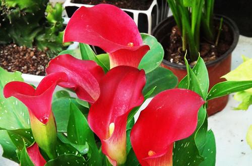 红色马蹄莲的花语是什么