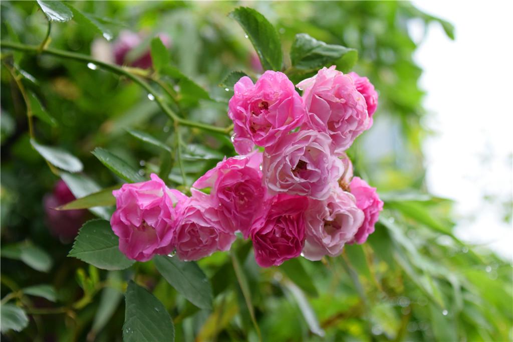 蔷薇的花语是什么?蔷薇的传说