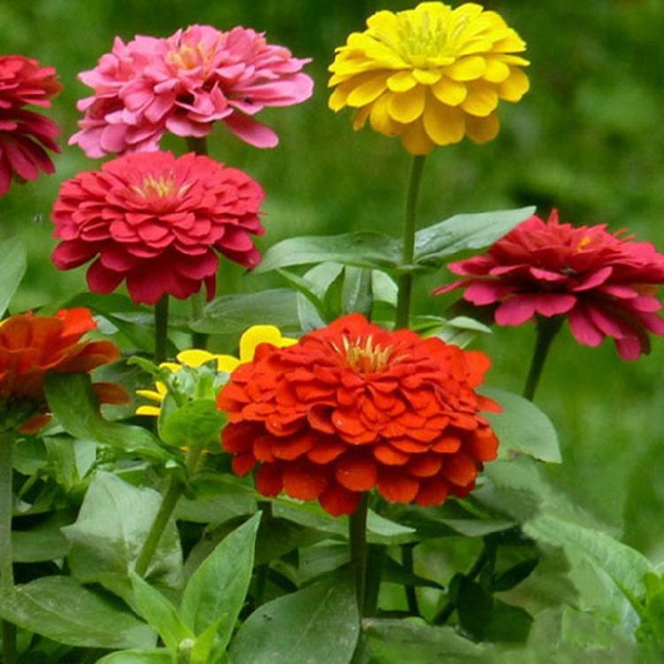 百日菊的花语是什么