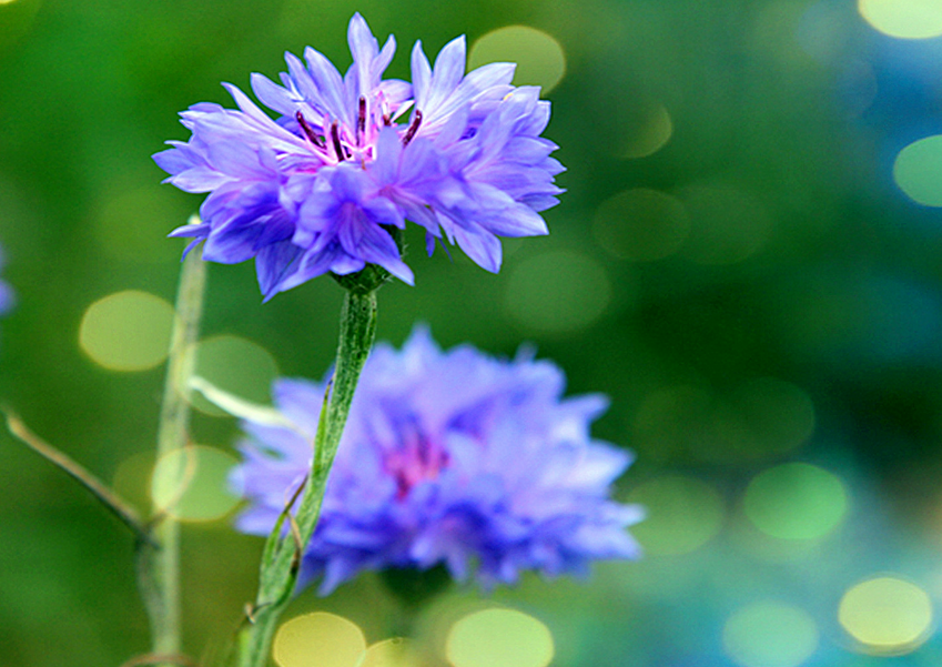 矢车菊的花语是什么?矢车菊的传说