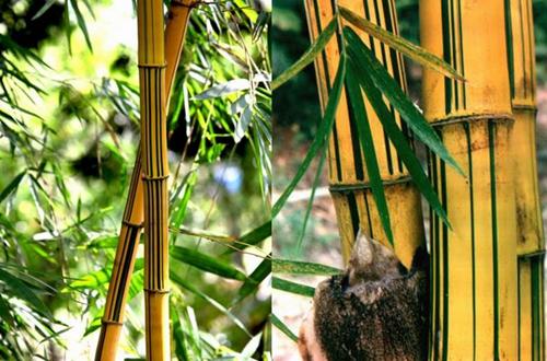 黄金竹的养殖方法和注意事项