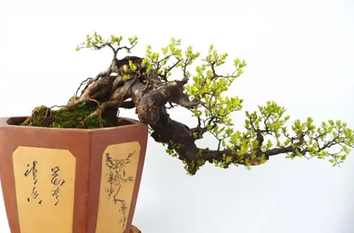 雀梅盆景如何修剪?雀梅盆景的修剪方法