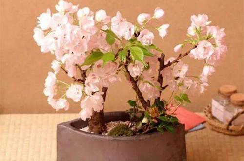 樱花盆景的养护方法