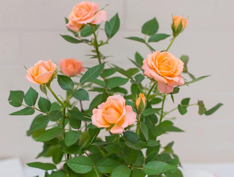 盆栽月季的养护方法