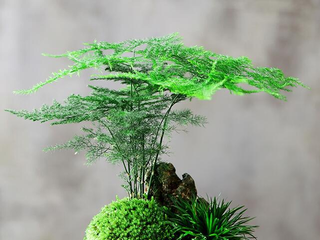 文竹的扦插、修剪和繁殖方法