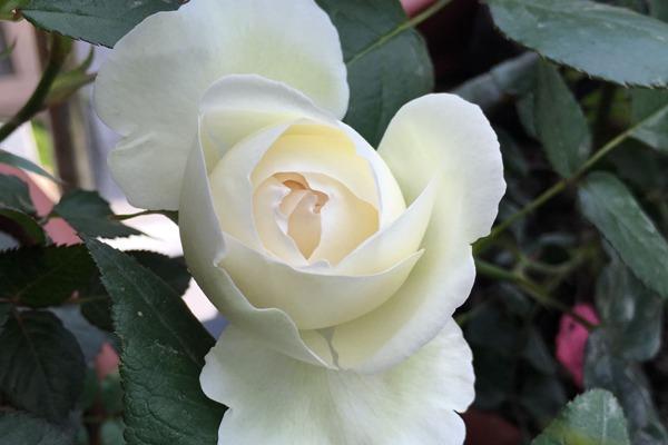 月季花——白色龙沙宝石(Blanc Pierre de Ronsard)