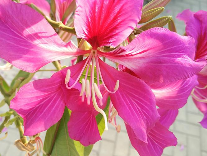 紫荆花的花语和传说