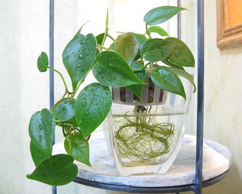 夏季给水培花卉增氧窍门