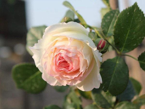 月季花——龙沙宝石(Rose Eden)