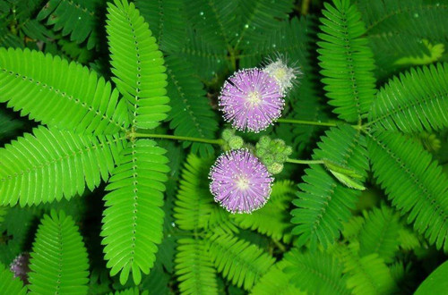 含羞草种子的种植方法和注意事项
