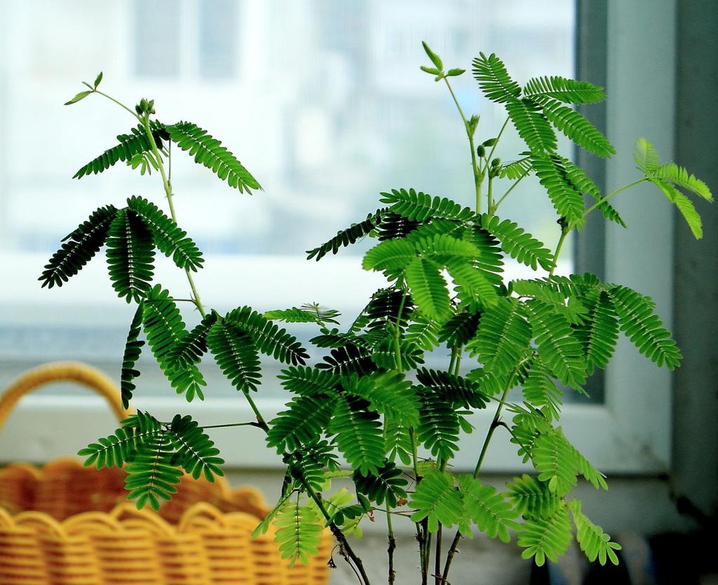 含羞草有毒吗?含羞草可以放在室内吗?