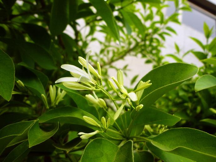 流苏树盆栽怎么养