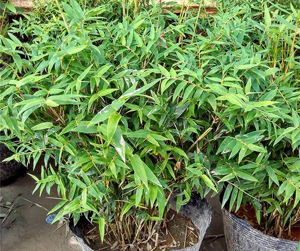 米竹盆栽怎么养
