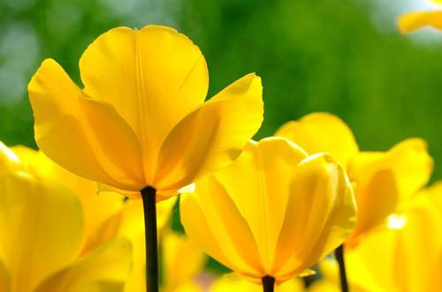 郁金香的种植方法和注意事项