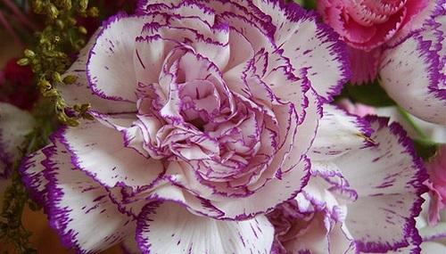 康乃馨的花语和传说