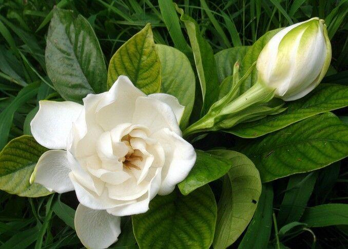 栀子花的花语和象征代表意义是什么?