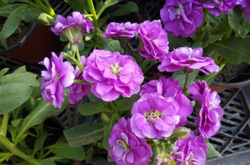紫罗兰怎么繁殖?紫罗兰的播种方法