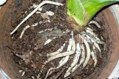 养花先养根,想要养好花养根是关键!
