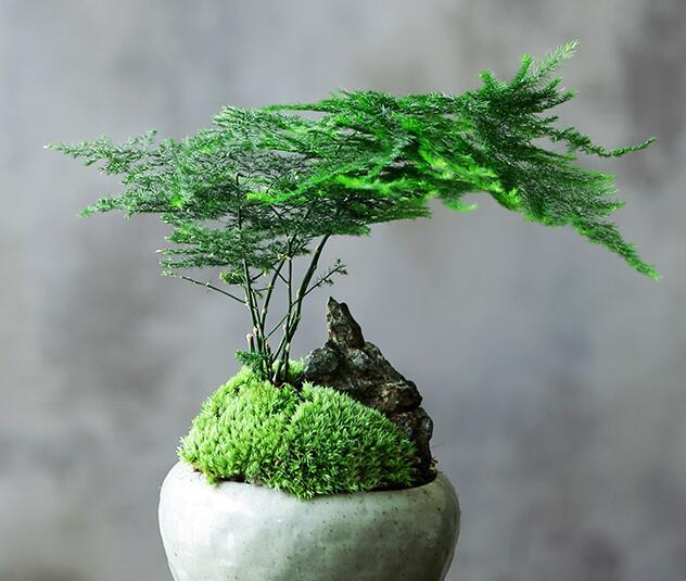 文竹这样浇水,根叶长得快,不烂根!