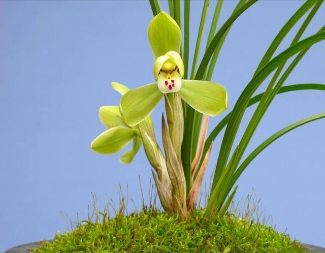怎么养好兰花?首先要了解兰花的生长习性